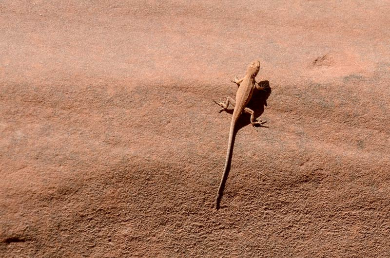Update on Federal Protection for the Dunes Sagebrush Lizard