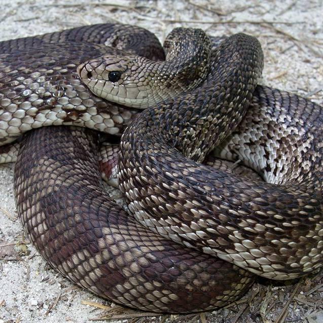 Suwanee_County_FL_Pine_Snake_glenn_bartolotti1