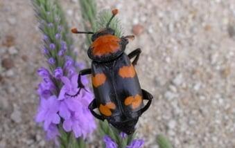 What It Means:American Burying Beetle Status Change