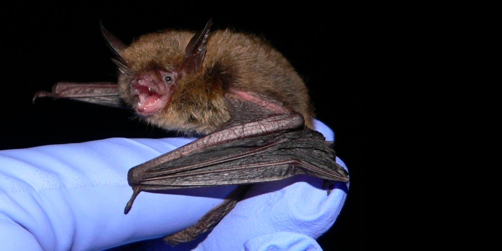 Additional ESA Protections Possible for Northern Long-eared Bat