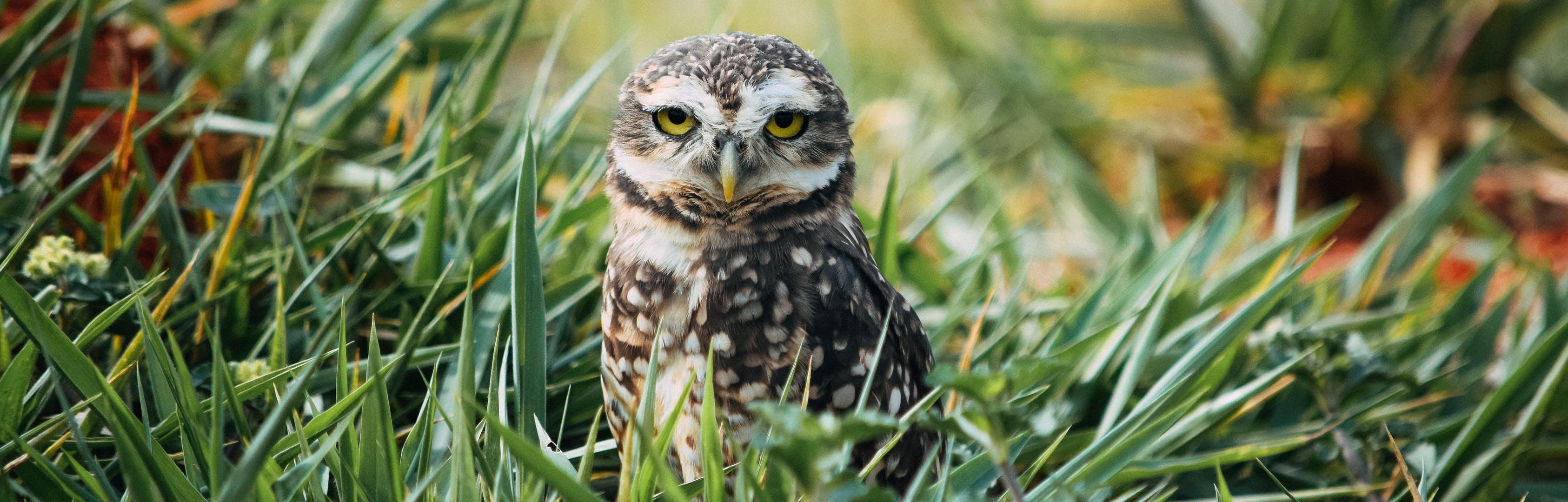 western burrowing owl banner
